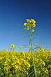 Oilseed rape flowers