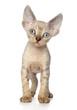 Devon Rex kitten on white background