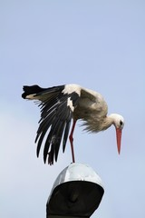 The White Stork (Ciconia ciconia) on the lamp.