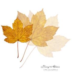 Collage mit Blättern des Berg-Ahorn