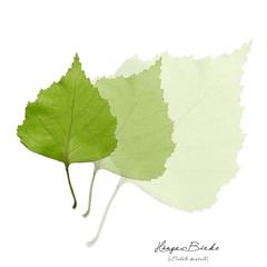 Collage mit Blättern der Birke