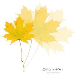 Collage mit Blättern des Spitz-Ahorn