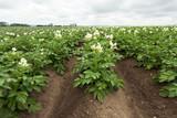 Landwirtschaft Kartoffel