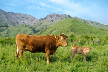 阿蘇の赤牛の親子