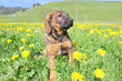 Nice puppy taken in yellow dandelions in Swiss Alps