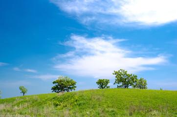 柏の木と青空