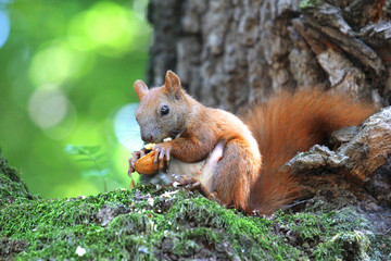 red squirrel sitting on a tree