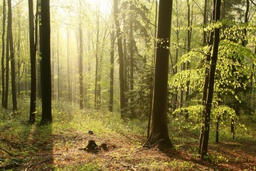 Beech forest in a nature reserve in the spring morning