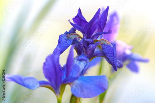 Poster Iris Irises
