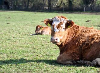 Kuh liegt auf der Weide
