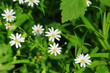 White spring flowers anemone