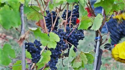 Vendemmia Raccolto dell' uva