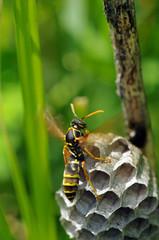風を送るアシナガバチ