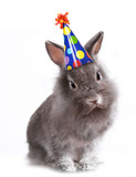 Fototapety Angry Furry Grey Rabbit With a Birthday Hat On