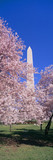 Cherry blossoms and Washington Monument, Washington DC