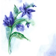 Watercolor -Campanula-