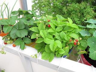 Erdbeeren in Töpfen auf dem Balkon