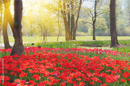 Park with red tulips