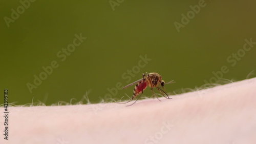 Close-up of a mosquito blood sucking on human skin