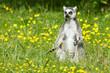 Sunbathing ring-tailed lemur in captivity