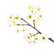spring white cherry floral branch
