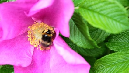 Bee and pollination. ( Silent )