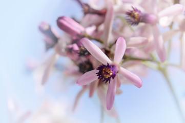 Fleurs de l'arbre de Neem