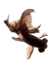 BLACK goldfish isolated on white background
