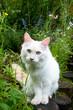 Sibirische Waldkatze im Garten