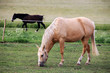 White and brown Horses on the green Pasture