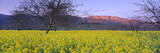 These are spring mustard plants in a walnut grove. They are below the Topa Topa Mountains in Upper Ojai at sunset.