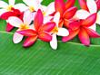 Arrangement of beautiful frangipani on a banana leaf