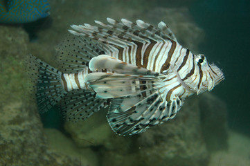 Lion or Turkey fish