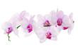 Fototapeten,orchid,foto,isoliert,blume