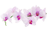 lot of light pink isolated orchids