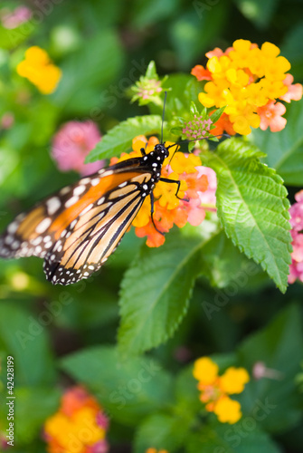 Monarch on Lantana