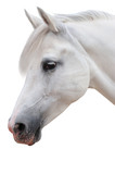 Arabian stallion on a white background