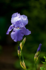 lavendar bearded iris