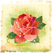 vintage illustration of red rose