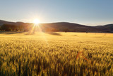 Fototapety Sunset over wheat field.