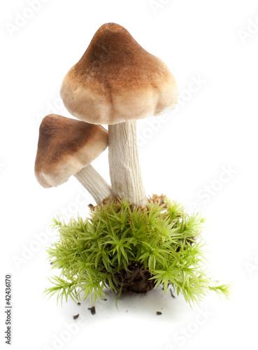poster of champignon comestible