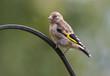 European Goldfinch, Juvenile, Carduelis carduelis