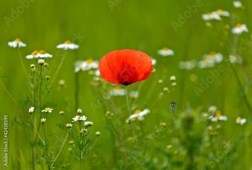 Isolated poppy in a blooming meadow