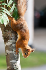 A furry squirrel climbing down a tree