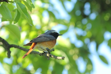 Vogel - Gartenrotschwanz