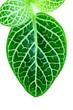 フィットニアの葉