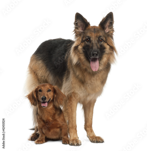 Dachshund, 9 years old, German Shepherd Dog, 3 years old