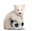 Polar bear cub, Ursus maritimus, 3 months old, with football