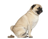 Pug, 3 years old, defecating against white background