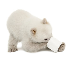 Polar bear cub, Ursus maritimus, 6 months old, feeding from cup